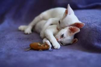 Котята девон-рекс.