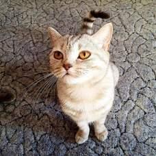 Шотландская прямоухая кошка – она же «скоттиш страйт».