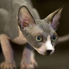 Кошка по имени Сфинкс: в чем ее особенность.