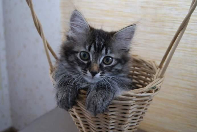 Характер сибирской породы кошек: в чем его особенность?