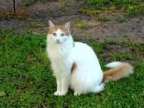 Турецкий ван – легендарная кошка.