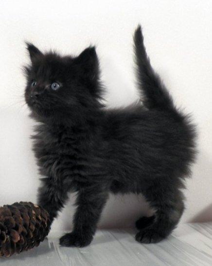 У здоровых котят шерстка шелковистая и блестящая