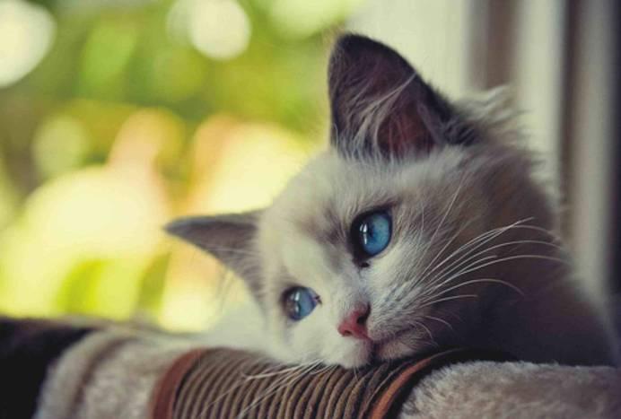 Данной патологией страдают породистые кошки