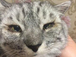 Гноение глаз может доставляет дискомфорт кошке