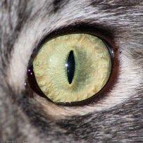 Здоровые глазки - здоровая кошка
