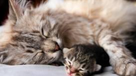 Роды для кошек – естественный жизненный процесс