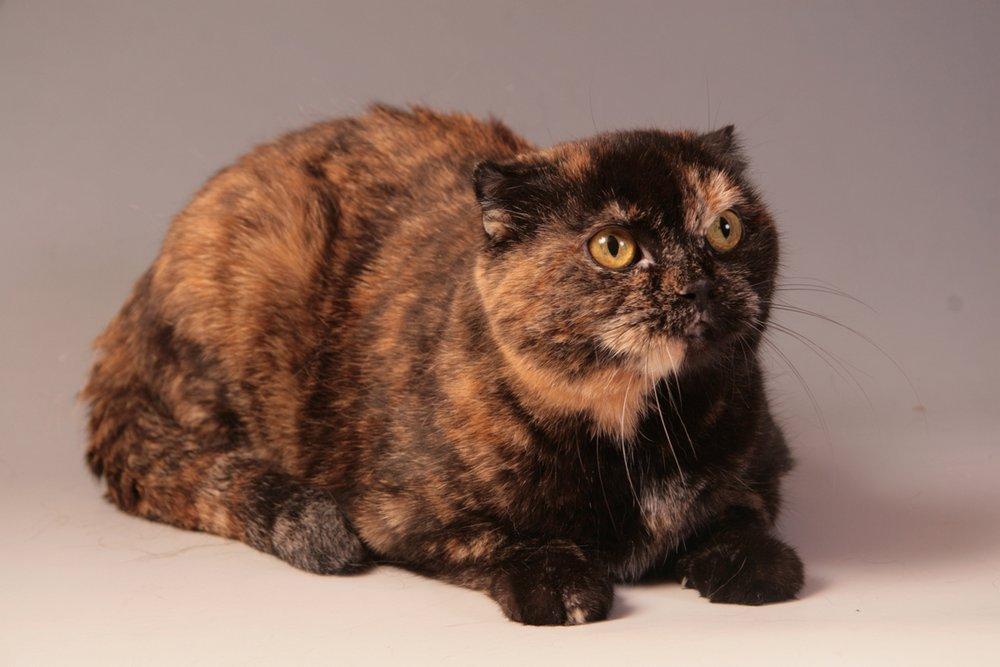 Черепаховый окрас кошки фото