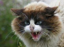 Шипение - знак того, что вы не приглянулись кошке