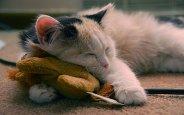 Во сне кошка остается охотником и, возможно, ловит очередную мышку
