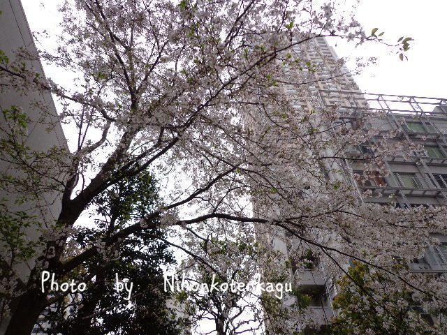 青山ツインビルの桜