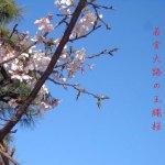 鎌倉発の新しい桜です。「玉縄桜」以後お見知りおきを!