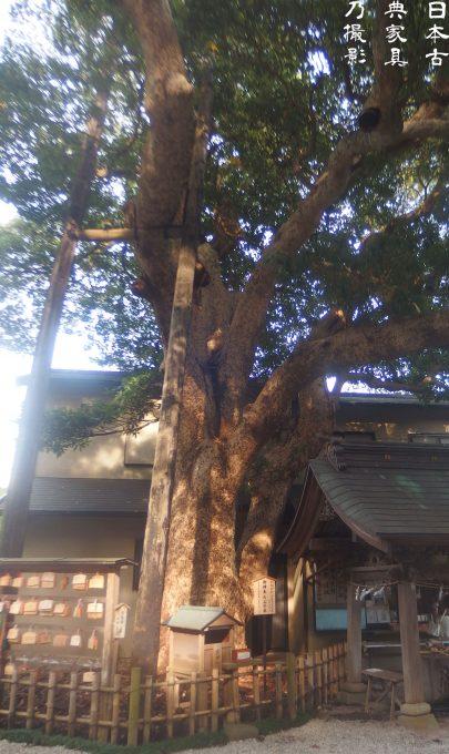 御霊神社 たぶの木の大木