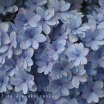 2016年の長谷寺の、紫陽花の様子は、色と品種が多くて、多彩です。