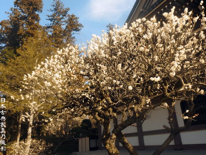 円覚寺選仏堂前の梅