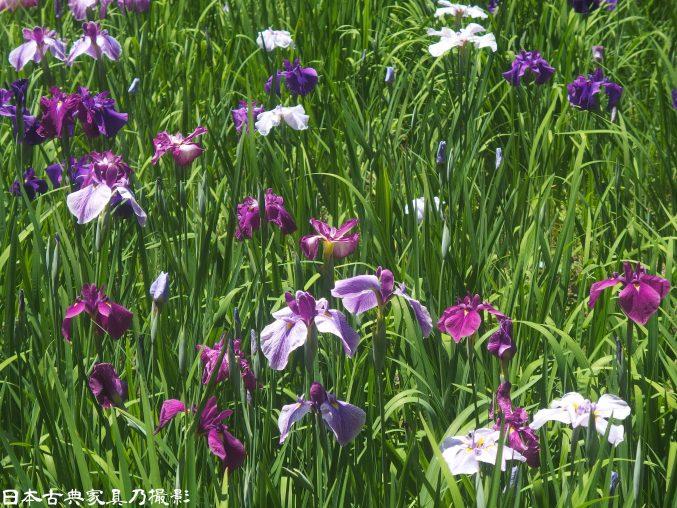 明月院の非公開庭園、本堂後庭園に花菖蒲を見に行ってきました。2017年秘密の庭に!