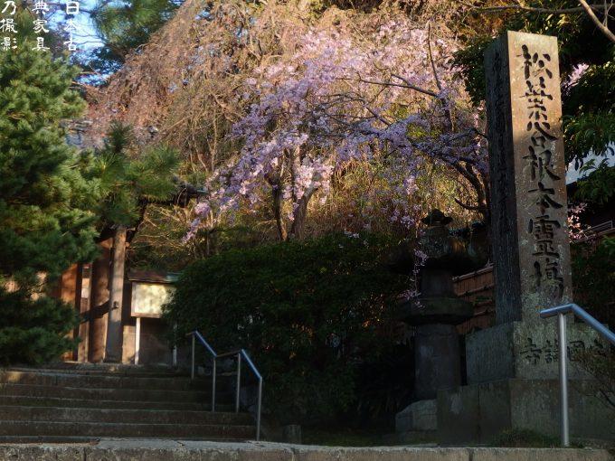 安国論寺 門前の枝垂桜