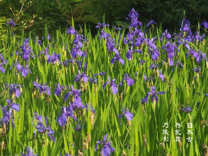 根津美術館の庭園の燕子花