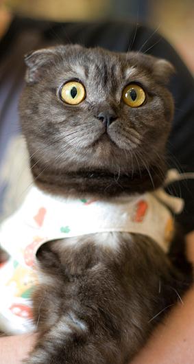 Как долго отходит кошка от наркоза после стерилизации
