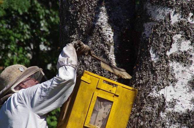 Matti Luostarinen harjasi puunkolosta osan mehiläisistä talteen.