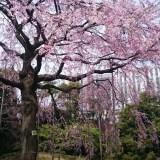 伝法院庭園の特別拝観、満開の枝垂桜がお出迎え