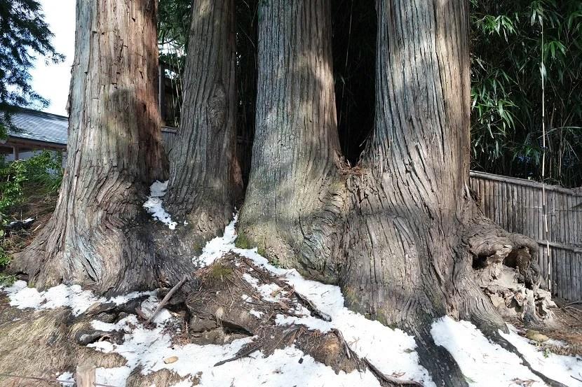 中尊寺のもみの木の画像