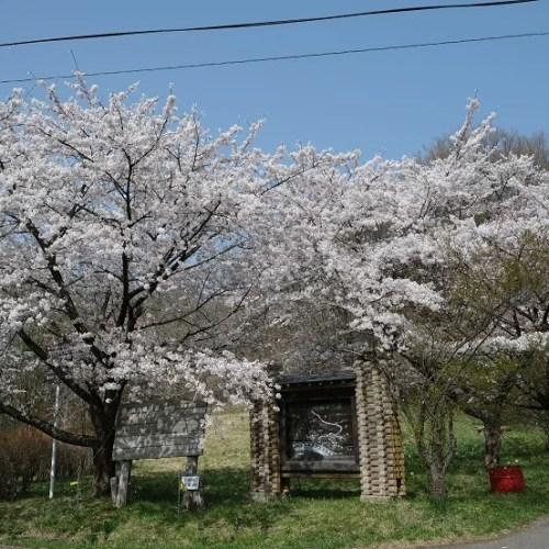 展勝地の桜の写真