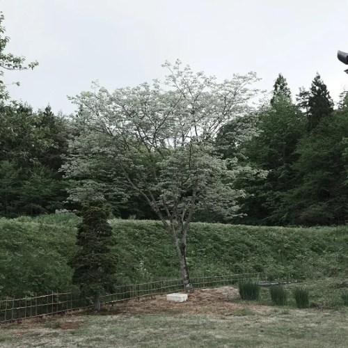 自宅庭の槐の木の春の写真