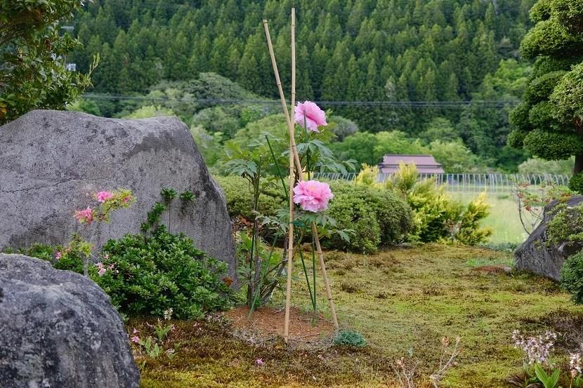 庭の牡丹の写真