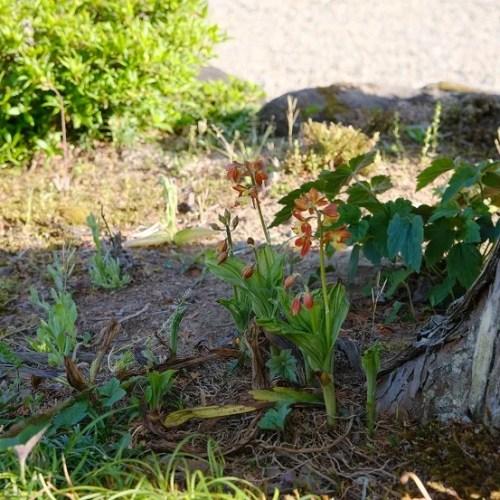 エビネランの咲いてる画像