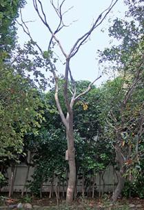 国語研中庭の楷(かい)の木