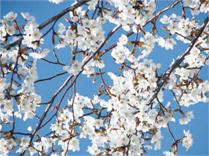 国語研究所の桜