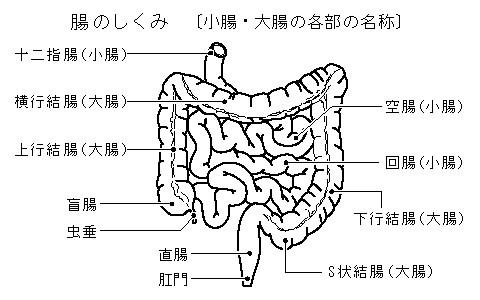 食道、胃、腸のしくみとはたらきとは - コトバンク