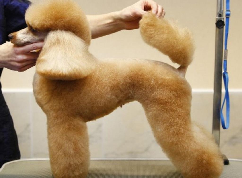 Как подстричь пуделя? Какие бывают виды стрижек? Как подстричь пуделя Как подстричь щенка пуделя.