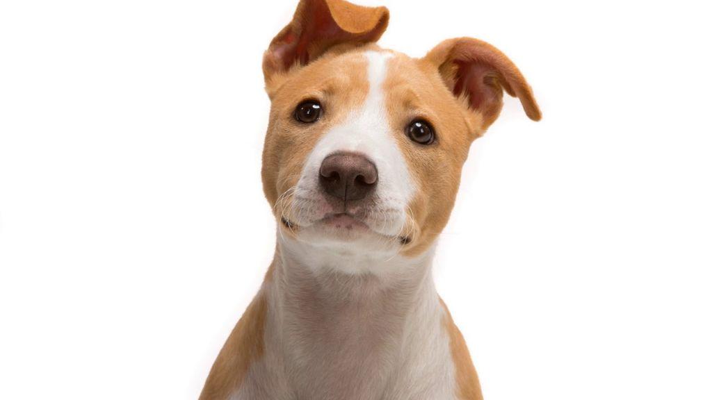 Почему собака хрюкает. Что делать, когда той-терьер задыхается и хрипит? Собака хрюкает причины