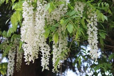 馬洗川渓流・杉の木を埋め尽くす藤の花(福島県二本松市)