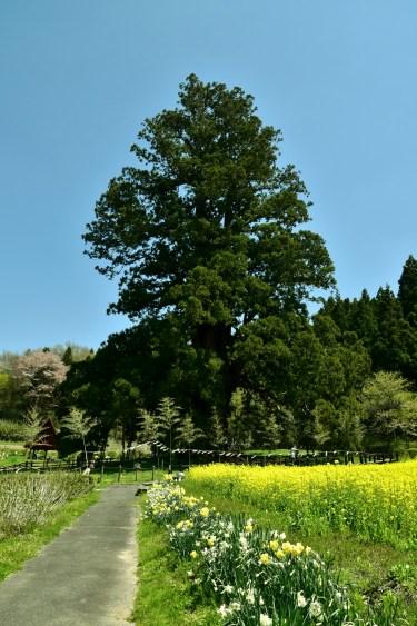 杉沢の大杉(旧岩代町)