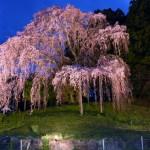 合戦場のしだれ桜2016(夜バージョン)LEDライトアップ