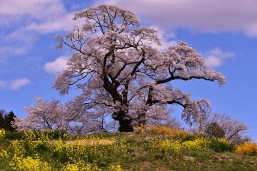 本宮市の桜の名所2017、塩ノ崎の大桜