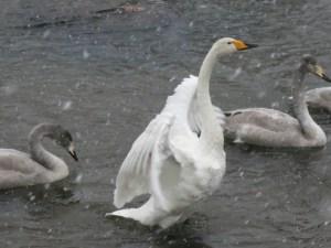 夏井川の白鳥