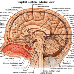 Sheep Brain Superior View Diagram 3 Way Outlet Wiring Dissection | Kourtnei's Anatomy And Physiology Blog :)