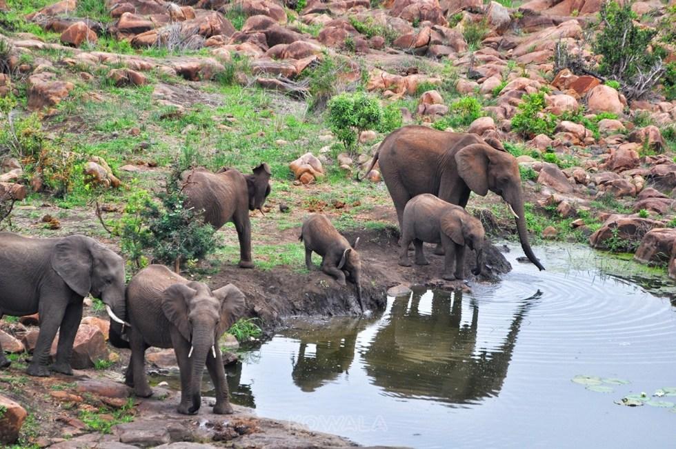 elephants en famille qui boivent au lparc Kruger
