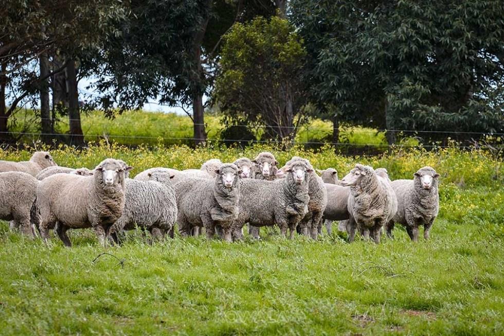 mountons sheep vignoble gingin western australia pvt whv