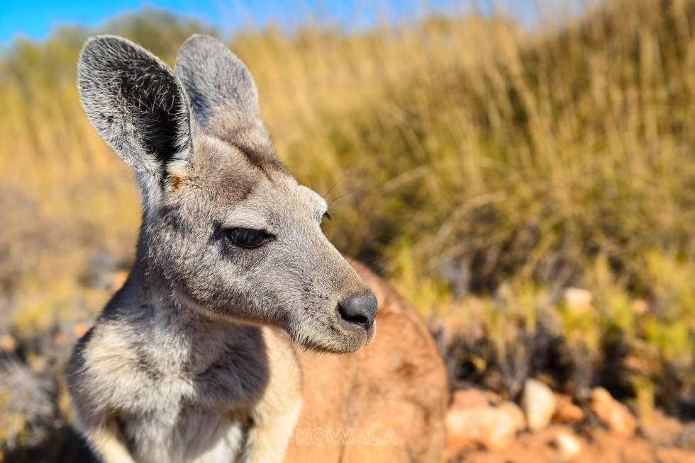 kangourou kangoroo australie australia desert