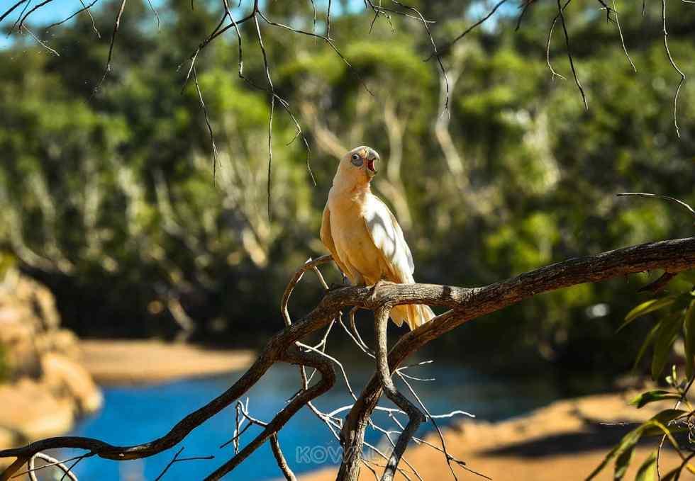 cacatoes corella kimberley wa australia australie gibb river road GRR road trip backpacker pvt whv