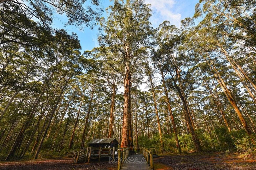 Pemberton-wa-south-west walpole valley of giant tree Australie Backpacker PVT Road Trip