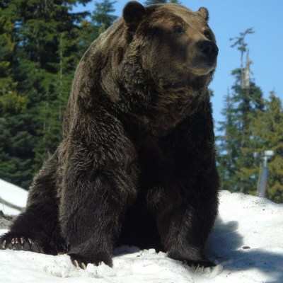 Un ours brun dans la neige