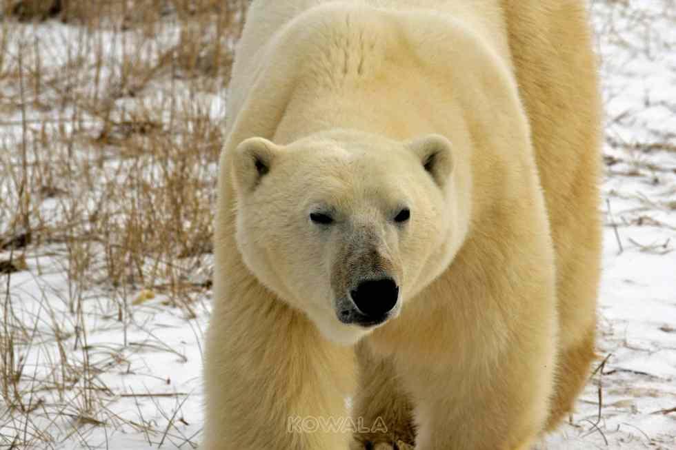 Un ours polaire en gros plan