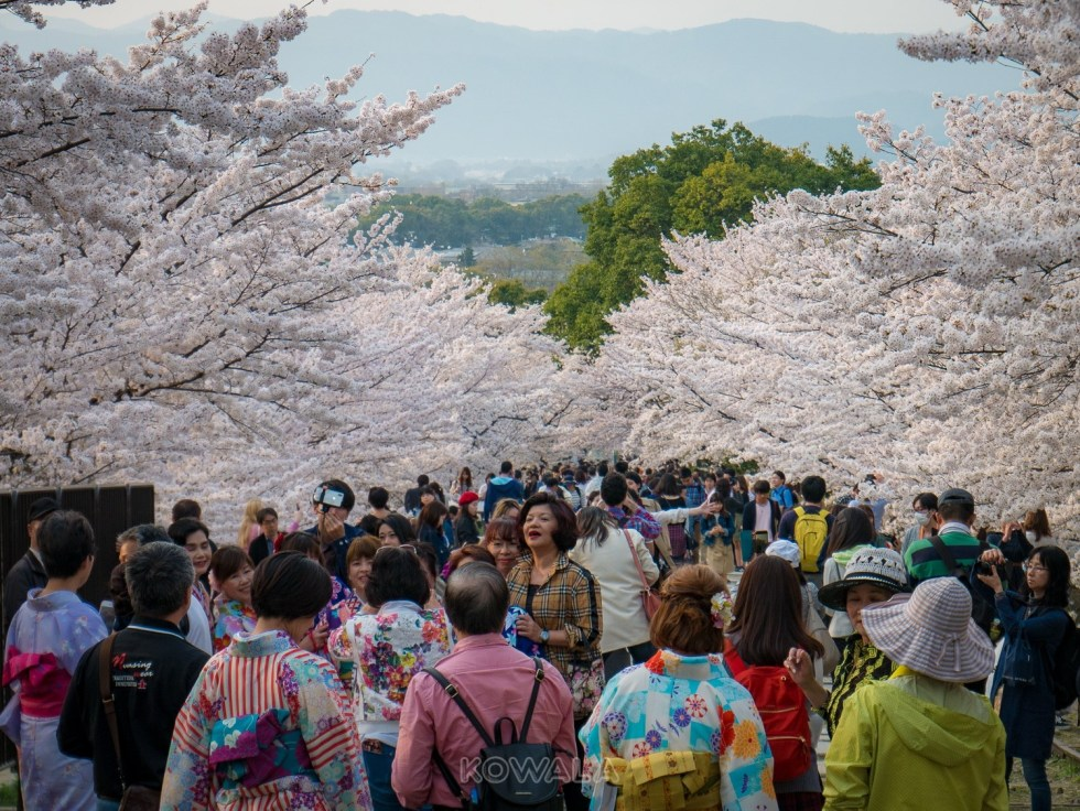 Cerisiers en Fleurs à Kyoto foule