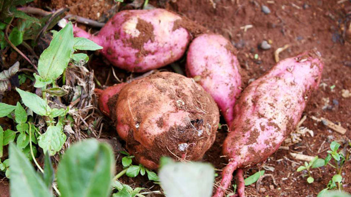 For brain power, more sweet potatoes experts say