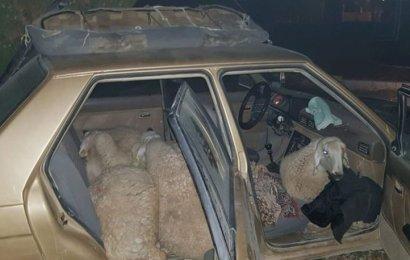 Çaldığı 7 Koyunla Otomobille Giderken Jandarmaya Yakalandı!